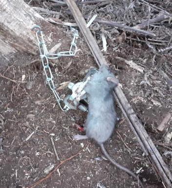 rat - Copy